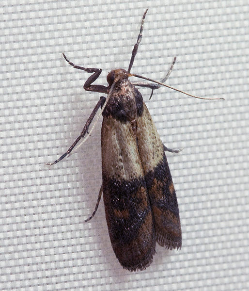 How to Get Rid of Kitchen Moths (The Eleventh Plague?)  Seattle Local